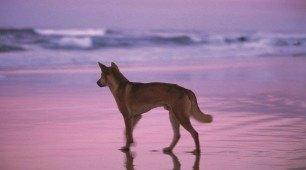Fraser Island Dingo, Queensland Australia
